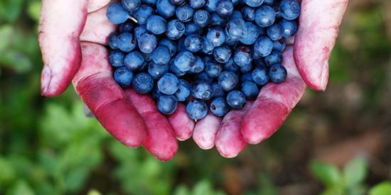 Hender med blåbær