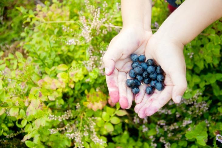 Hender med nyplukkede blåbær